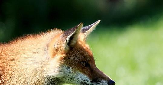 rókák visszér