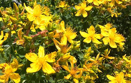 visszér milyen gyógynövények a varikózis a hóna alatt lehet-e