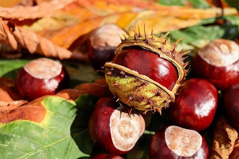 Gesztenye gyümölcs tinktúrái visszér ellen, Tinktúra a gyümölcs a gesztenye visszerek