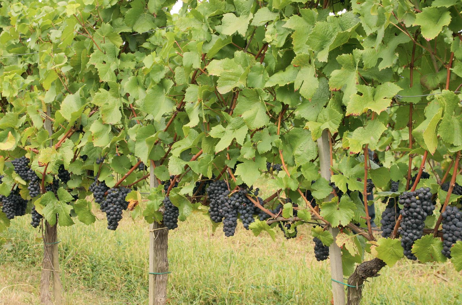 Vörös szőlő, a természet orvossága | Tiszta Forrás