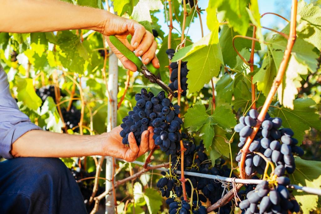 szőlő és visszér gomba szórakozás a visszérektől
